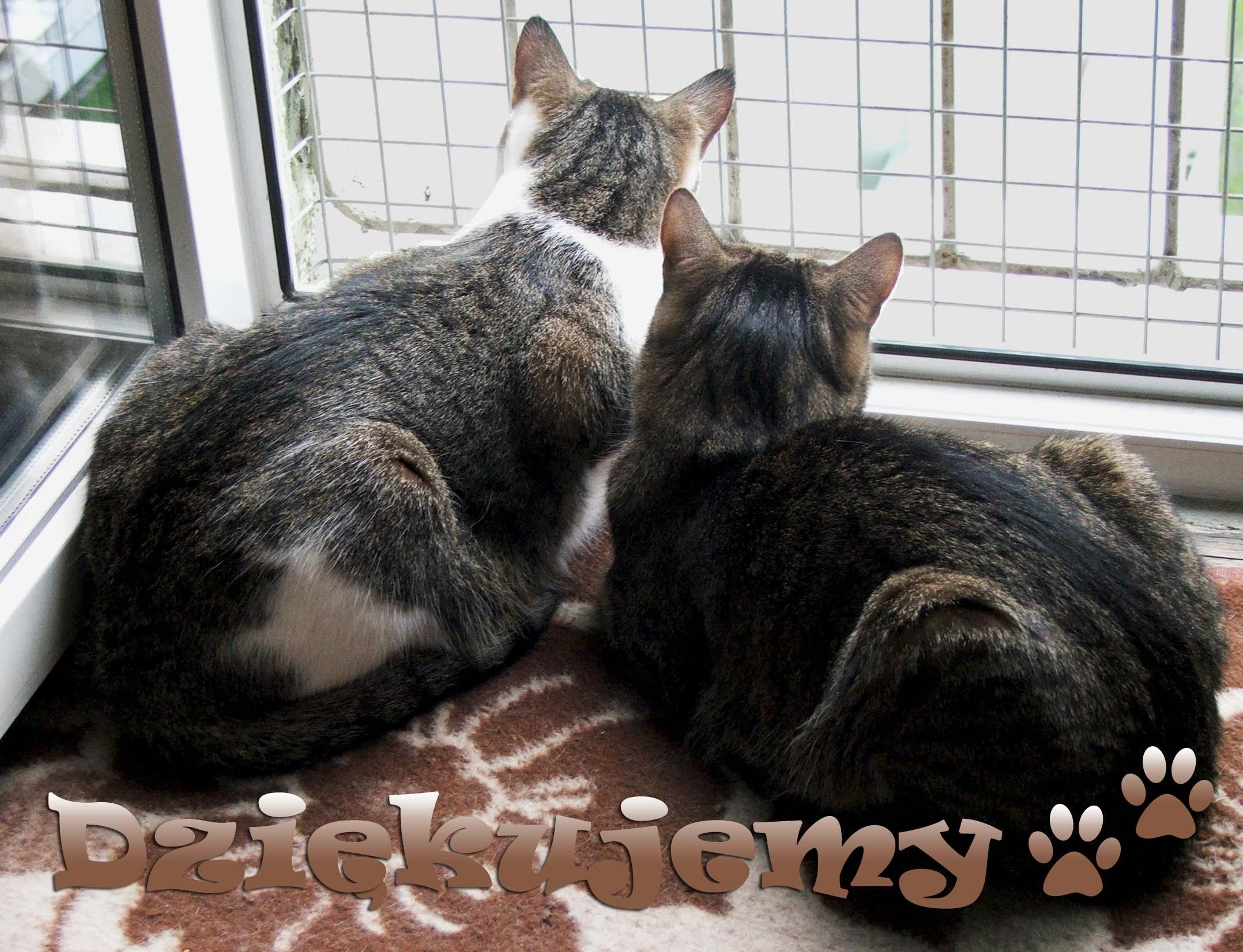 Agresywne koty - Antek i Bonifacy